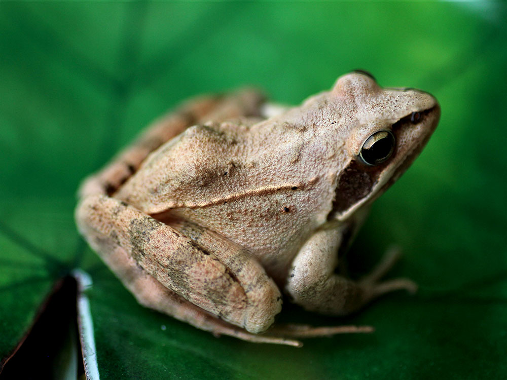 Prise de vue dans la nature d'une grenouille rousse sur un nénuphar émaillé. Emaux de l'atelier Constance du Bellay.